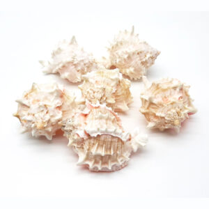 Conchiglie decorative naturali - Pink murex